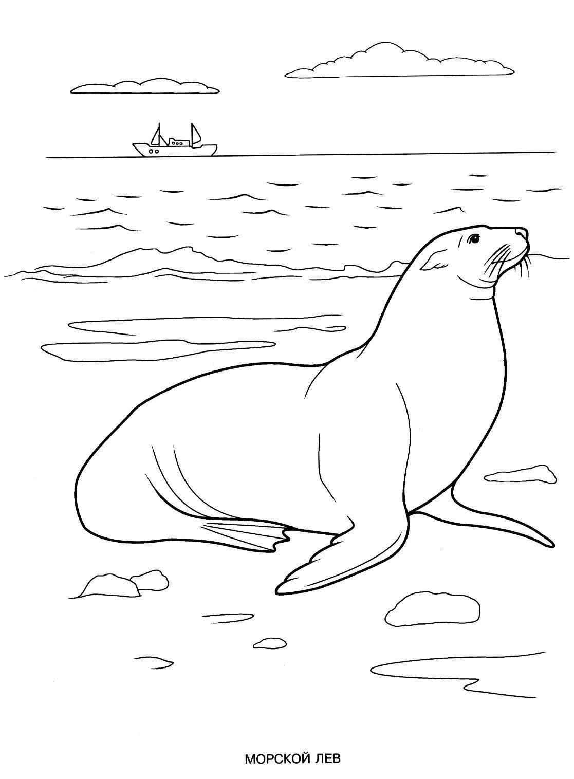 Раскраска морской лев