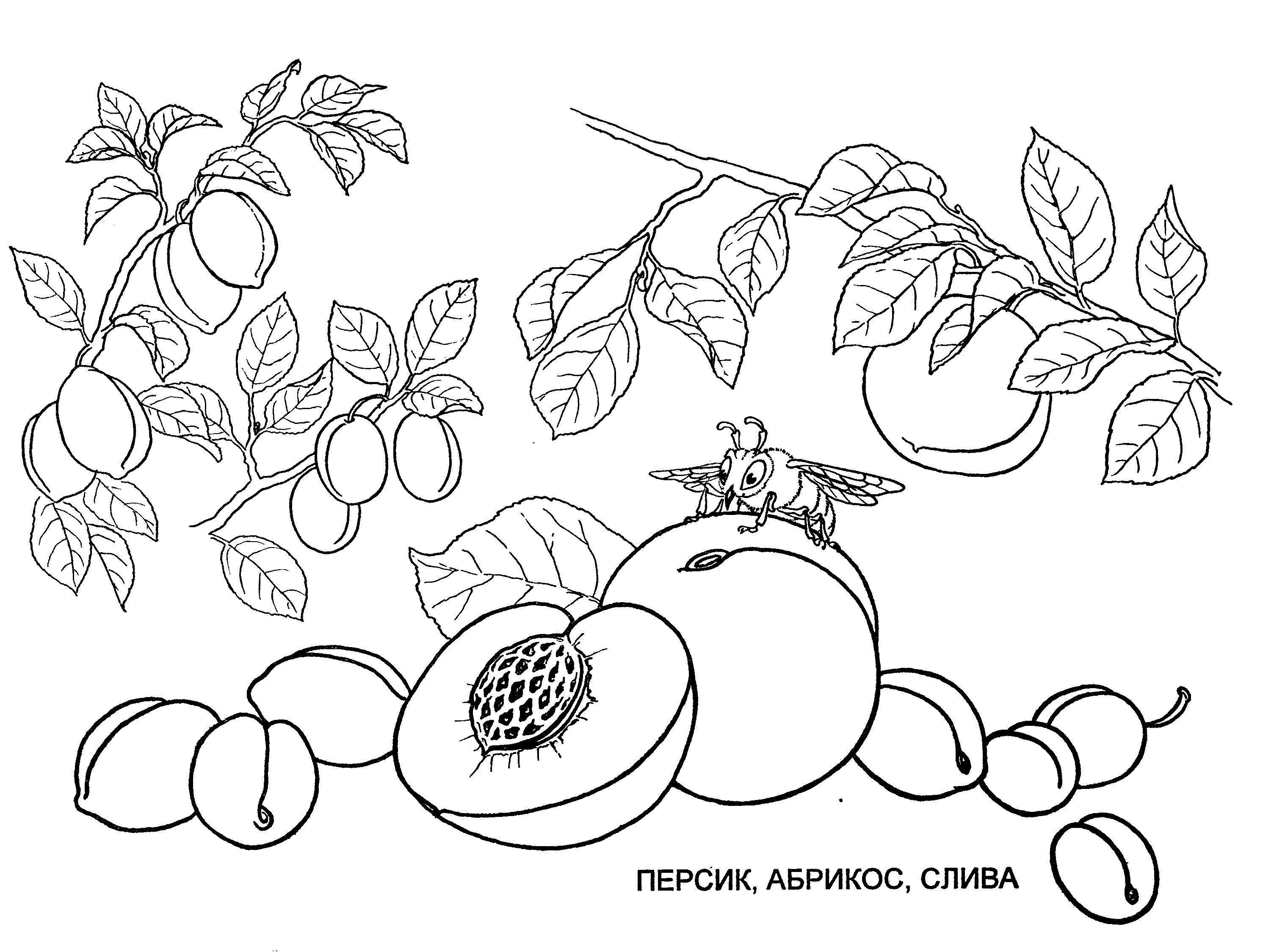Раскраска персики, абрикос, слива | раскраски , рисунки ягод и ...