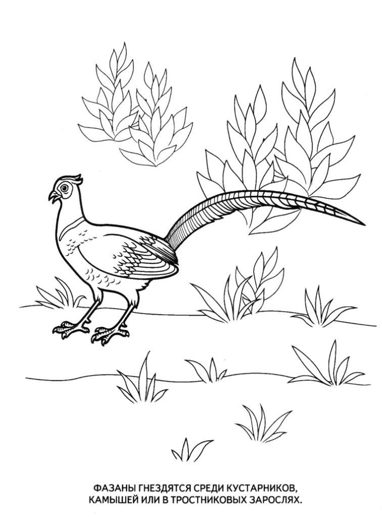Раскраски животные распечатать для детей, фазаны