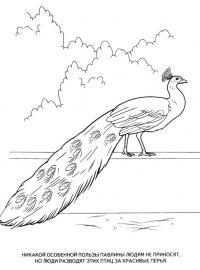 Картинки раскраски животные, павлин