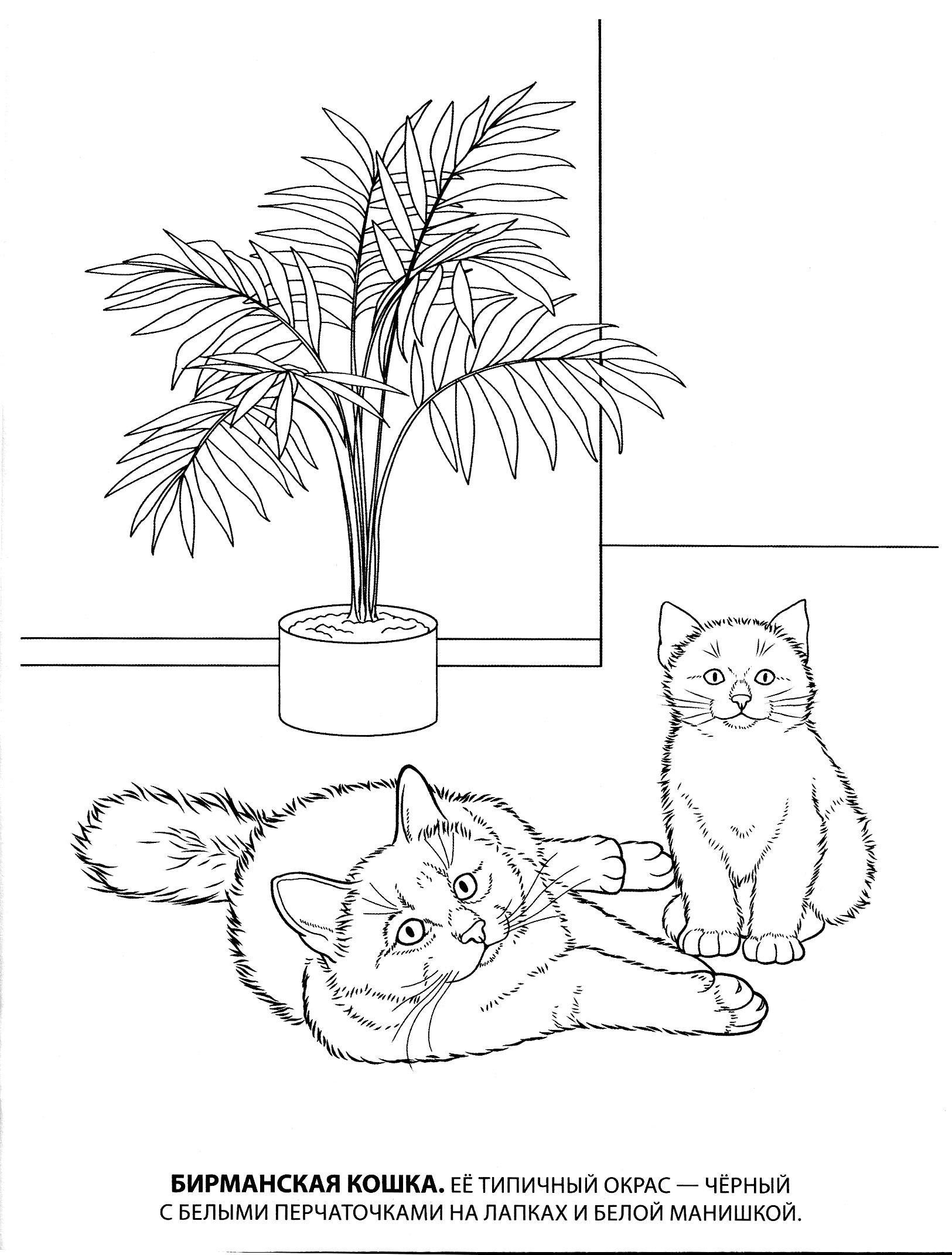 Раскраска бирманская кошка