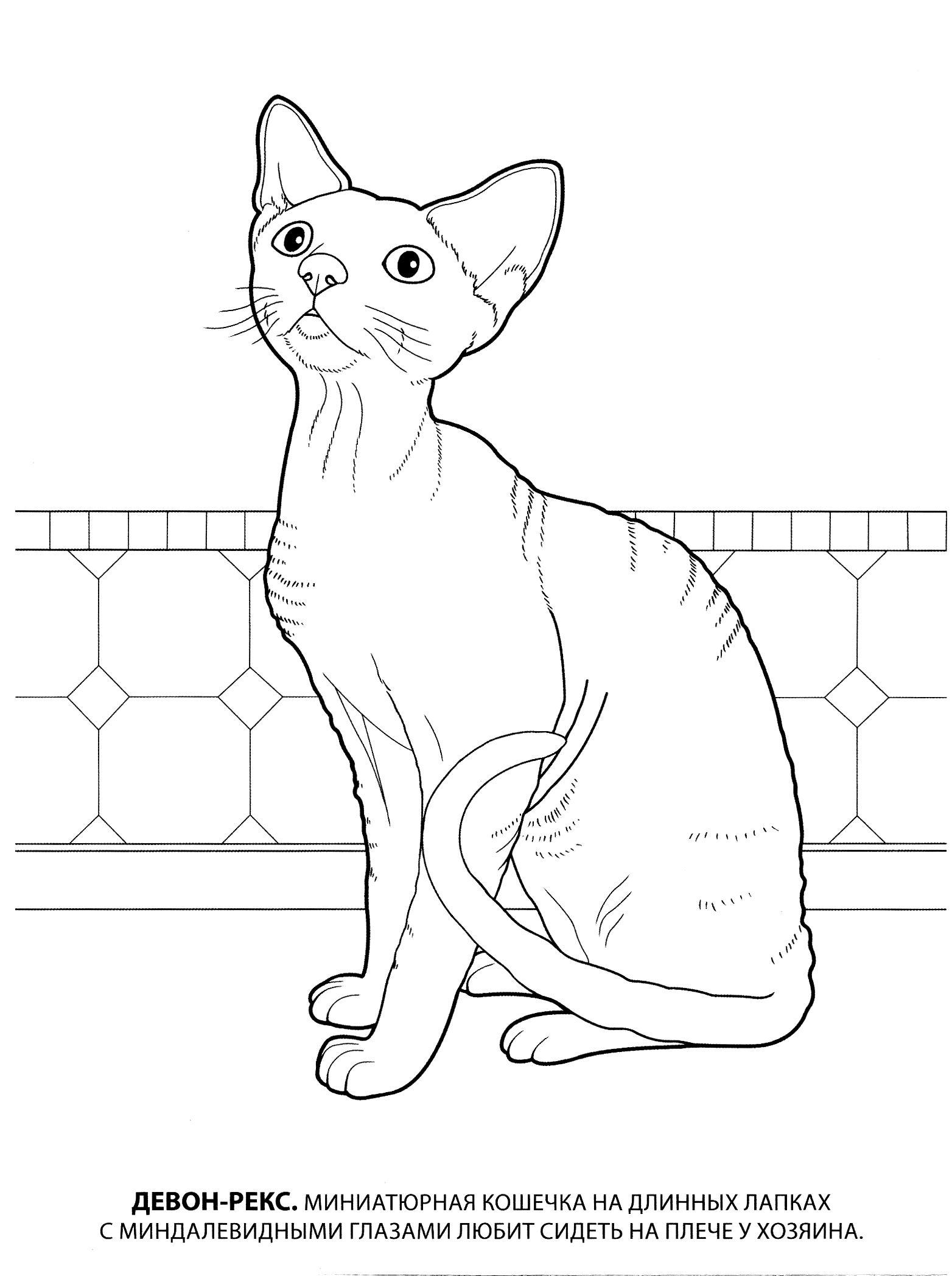 Раскраска девон рекс. раскраска породы кошек, картинки с кошками, изображения кошек, скачать разукраску, бесплатно, детский сайт