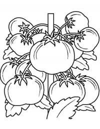 Детские раскраски для девочек и мальчиков. помидоры на кусту