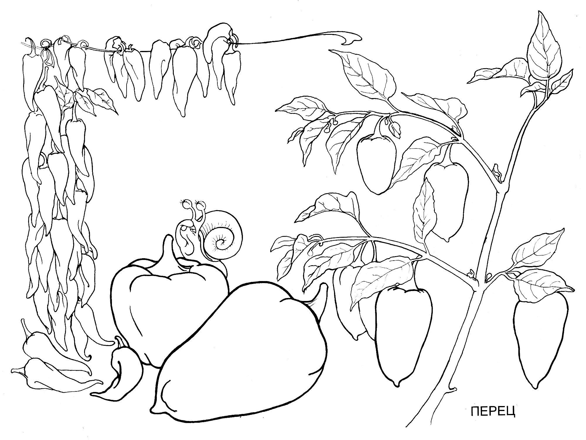 Раскраска болгарский перец. раскраска перец рисунок, перчик, раскраски перца
