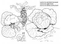 Раскраска капуста. раскраска капуста белокочанная, раскраска капусты брюссельской, цветная капуста картинки, рисунок капусты