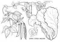 Раскраска салат, горох и фасоль. раскраска рисунок гороха, картинка фасоль, рисунки бобовых, раскраска детская овощи