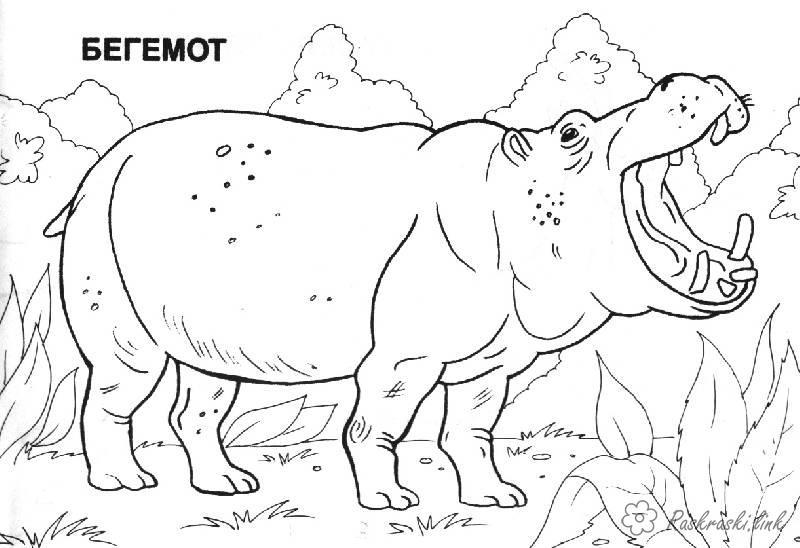 Раскраски берегу раскраски, бегемот, африка, животные