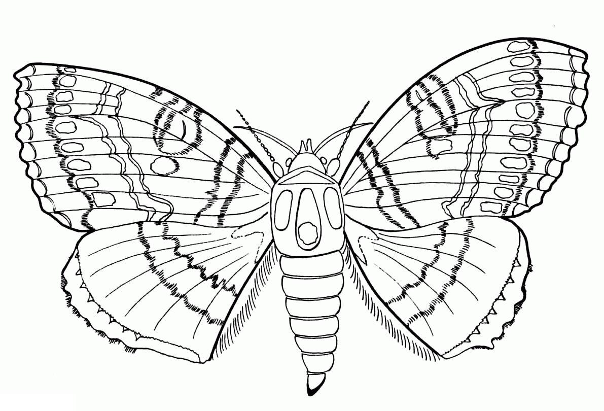 Много раскрасок. бабочка с толстым брюхом