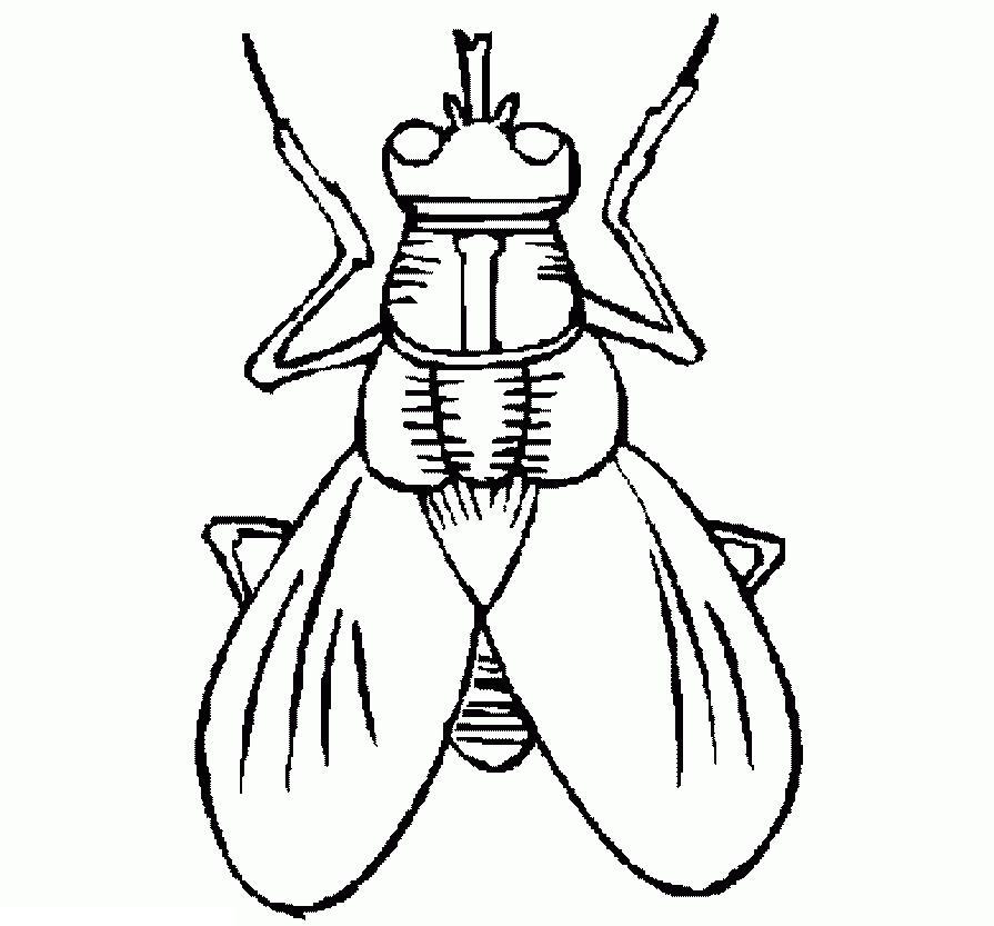Раскраски насекомые. муха домашняя