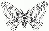 Раскраска красивая бабочка бражник