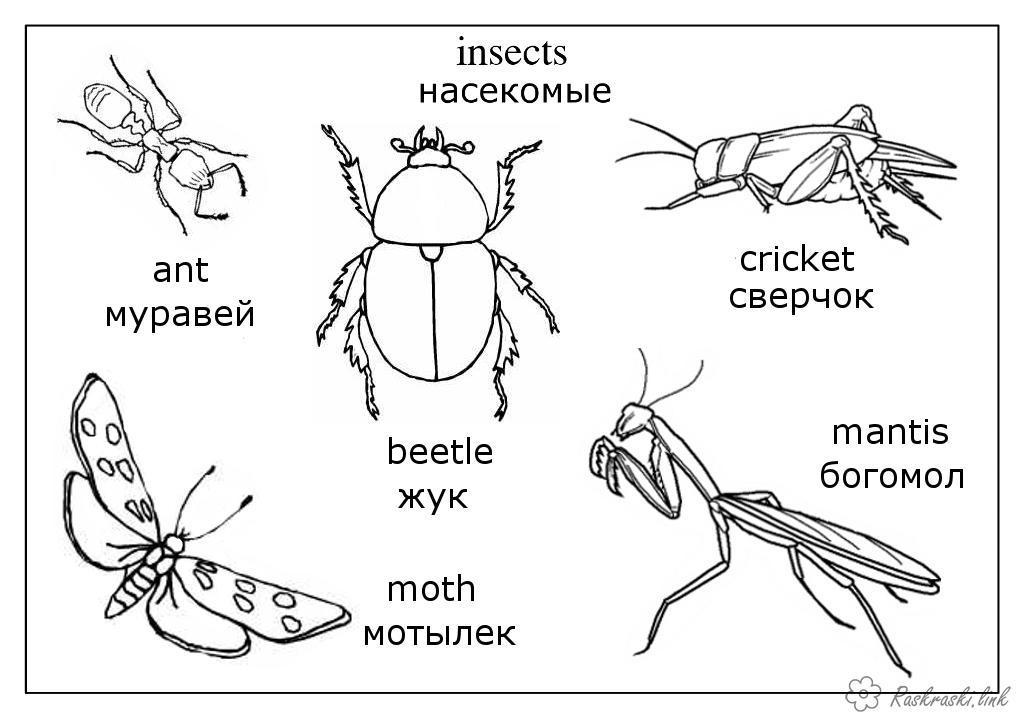 Раскраски насекомые богомол, мотылек, жук, муравей, сверчок, насекомые, детские раскраски