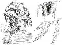 Раскраски природа раскраска ива,речка,веточка ивы,сережки ивы
