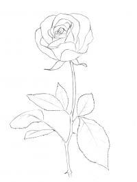 Контур цветка розы черно белые раскраски цветов