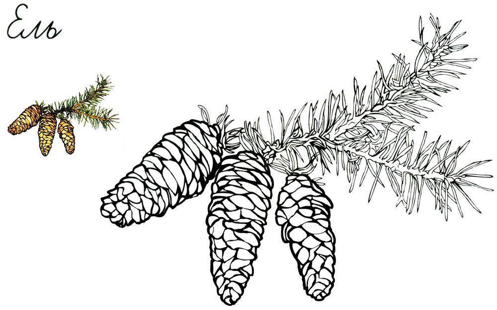 Раскрась по образцу шишки раскраски про зиму, еловая шишка, ель