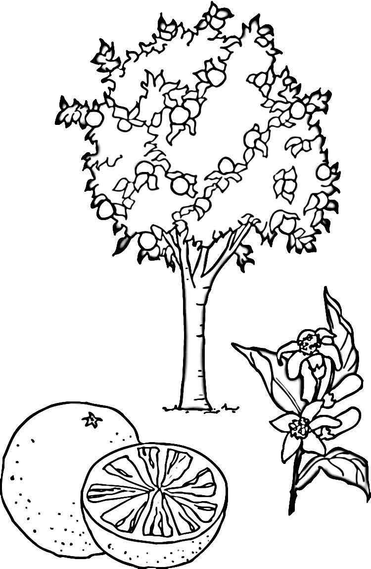Раскраски деревья ракраска мандариновое дерево,мандарины ...