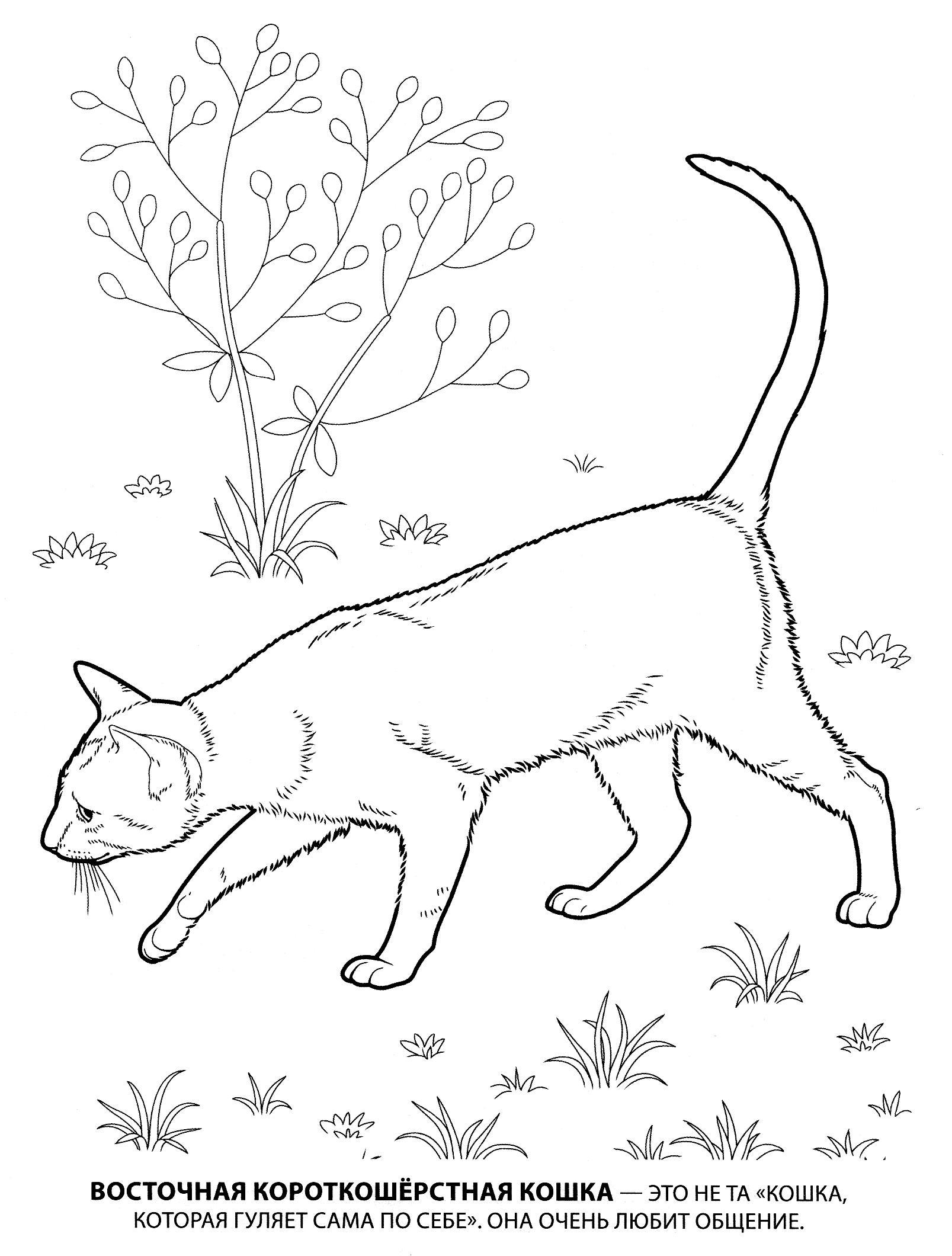 Раскраска восточная короткошерстная. раскраска короткошерстная кошка, домашняя кошка, рисунки кошек, раскраски для детей