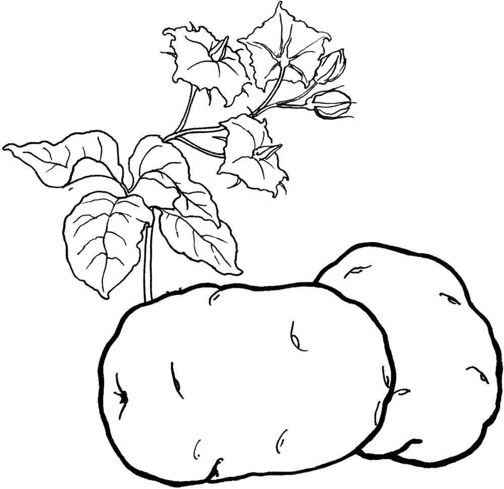 Скачать или распечатать раскраску распечатать скачать, картофель