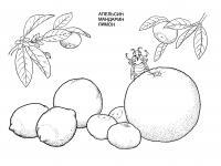 Раскраска цитрусовые фрукты, апельсин, мандарин, лимон