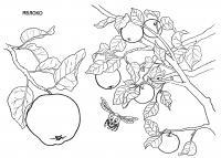 Раскраска яблоки. раскраска рисунок яблок, раскраска яблоня, картинка яблока