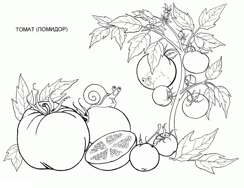 Раскраски помидоры. овощи и фрукты, томат