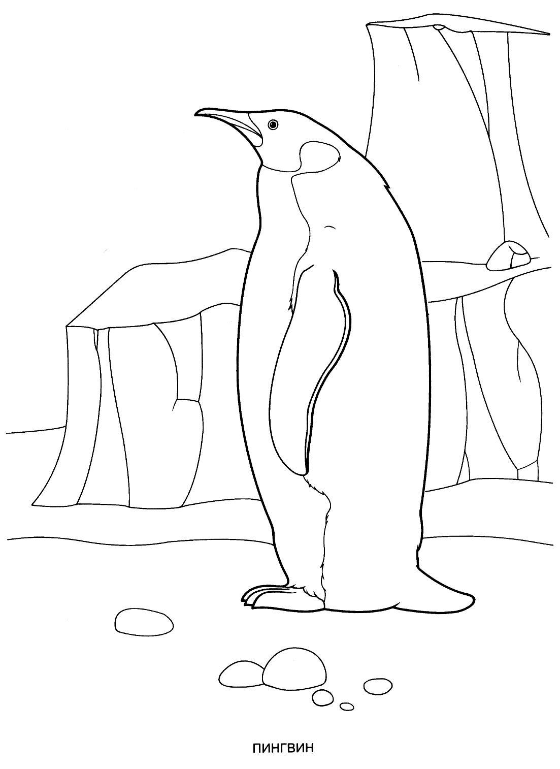 Раскраска пингвин. раскраска раскраска пингвина, королевский пингвин, разукраска детская, лед, арктика