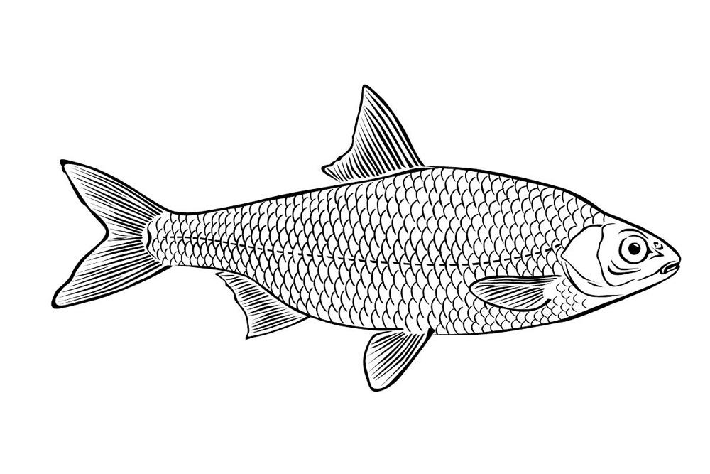 Раскраски рыбы плотва