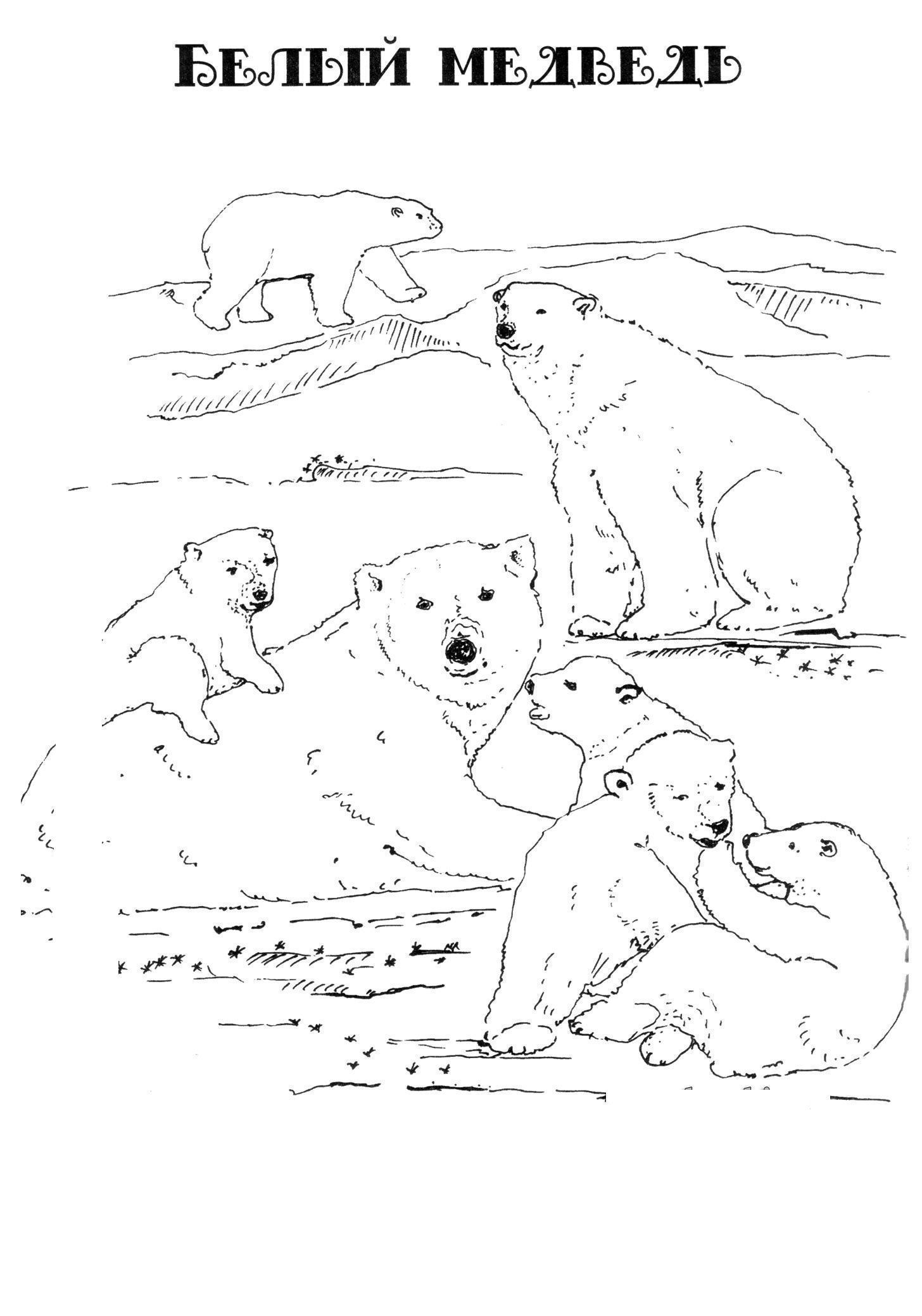 Раскраска белый медведь в jpg