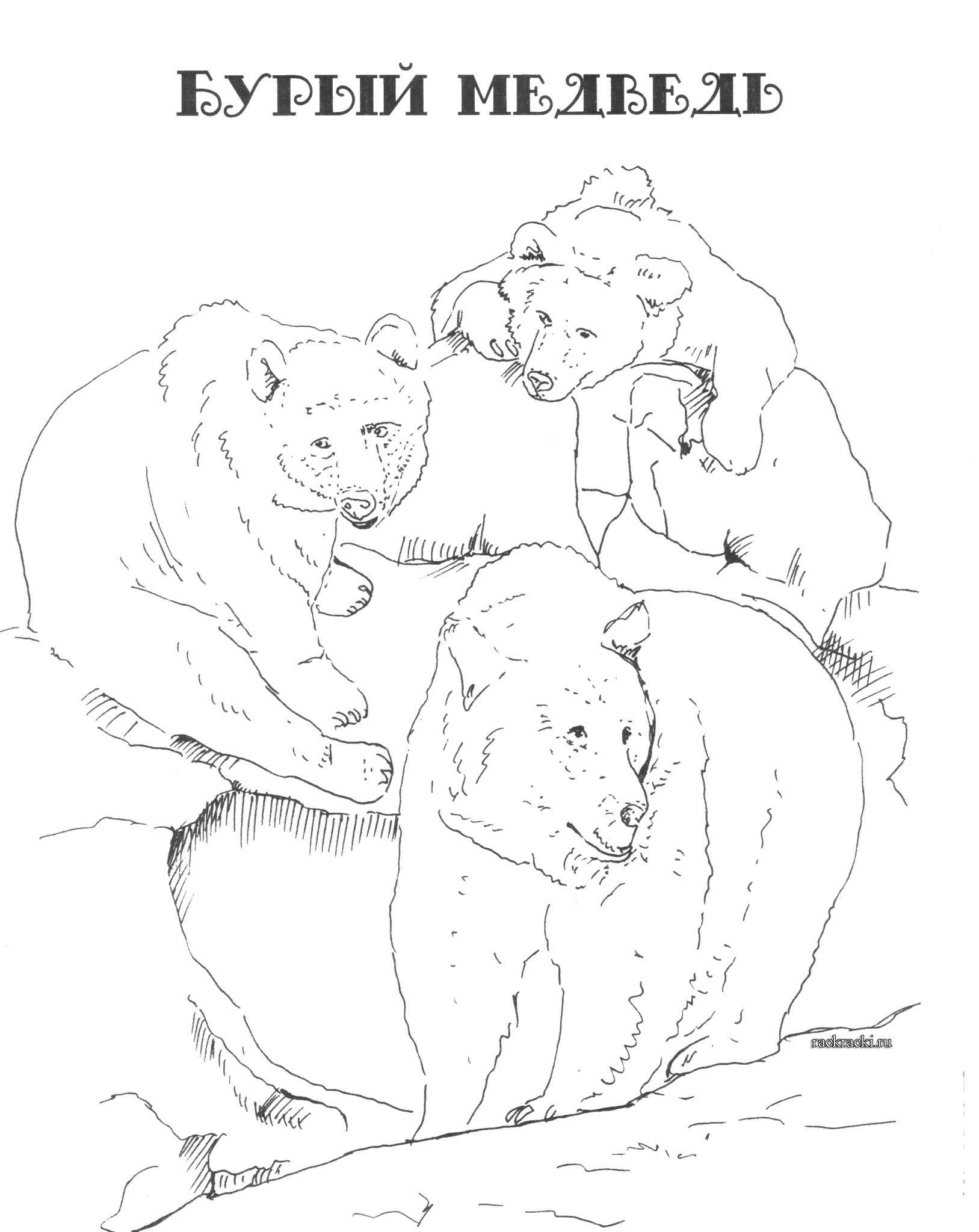 Раскраска бурый медведь в jpg